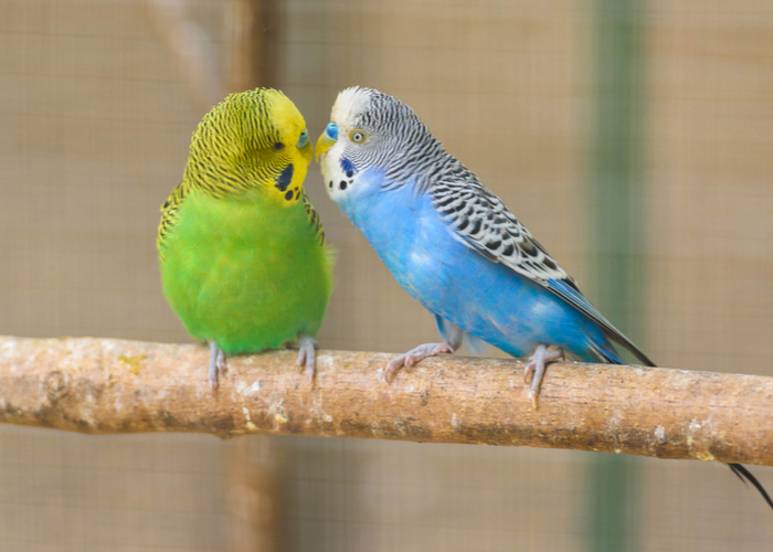 parakeet companion bird