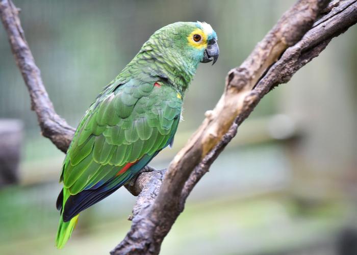 Amazon Parrots companion pets