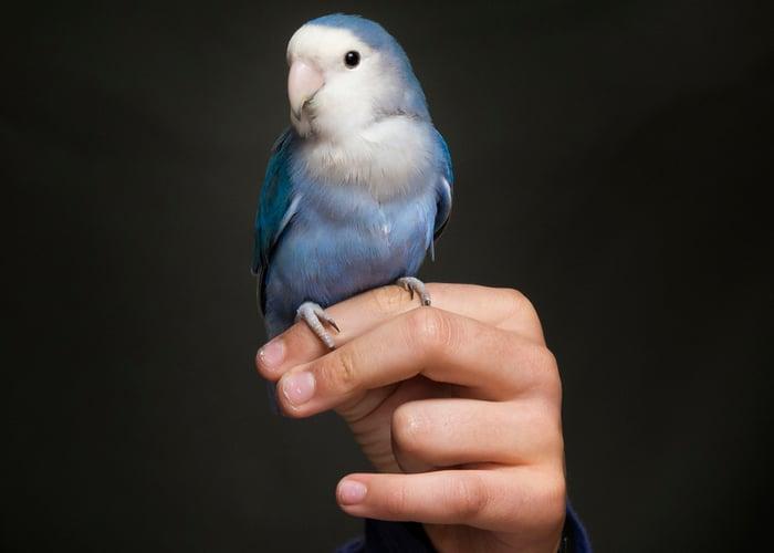Friendliest Pet Birds Lovebird