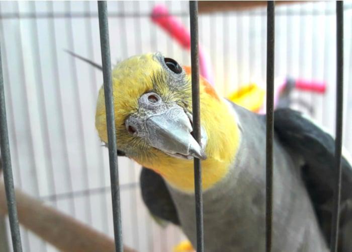 Companion Birds Cockatiel