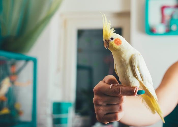 Friendliest Pet Bird Cockatiel