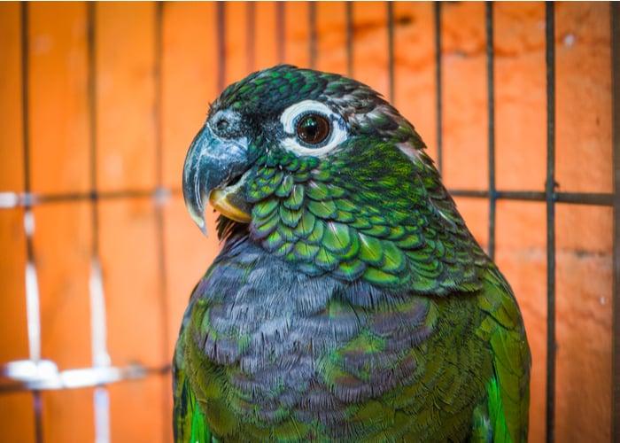 Pionus Friendliest Pet Birds