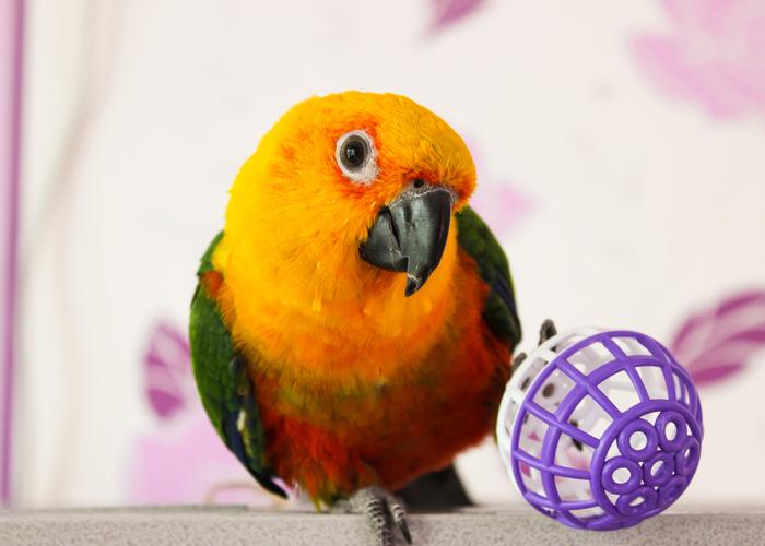 Conures pet bird