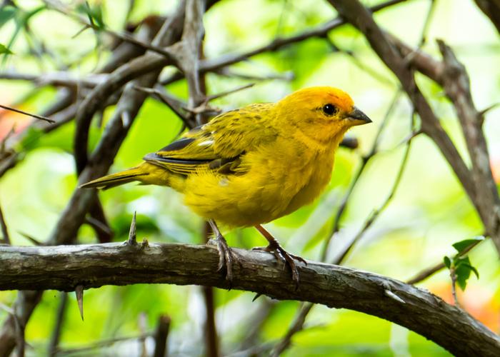 Canary pet bird