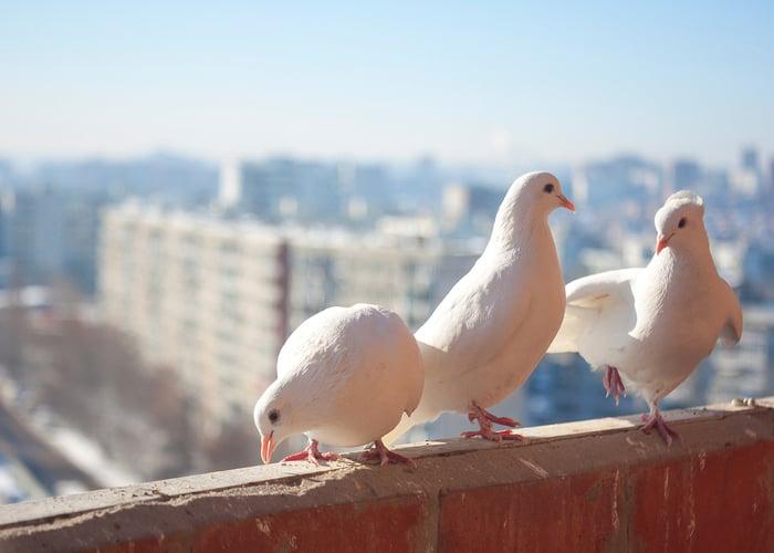 Companion Birds Dove