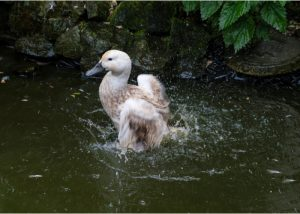 Abacot Ranger Duck Breed