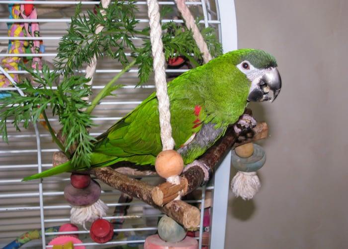 Hahn's Macaw companion bird