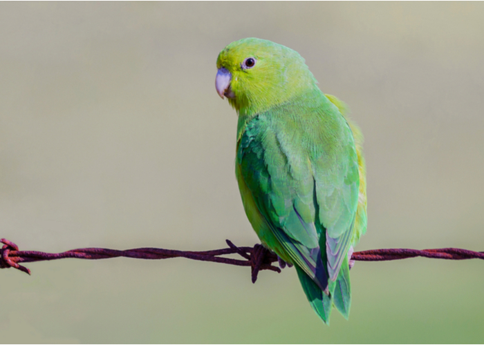 Parrotlets pet bird