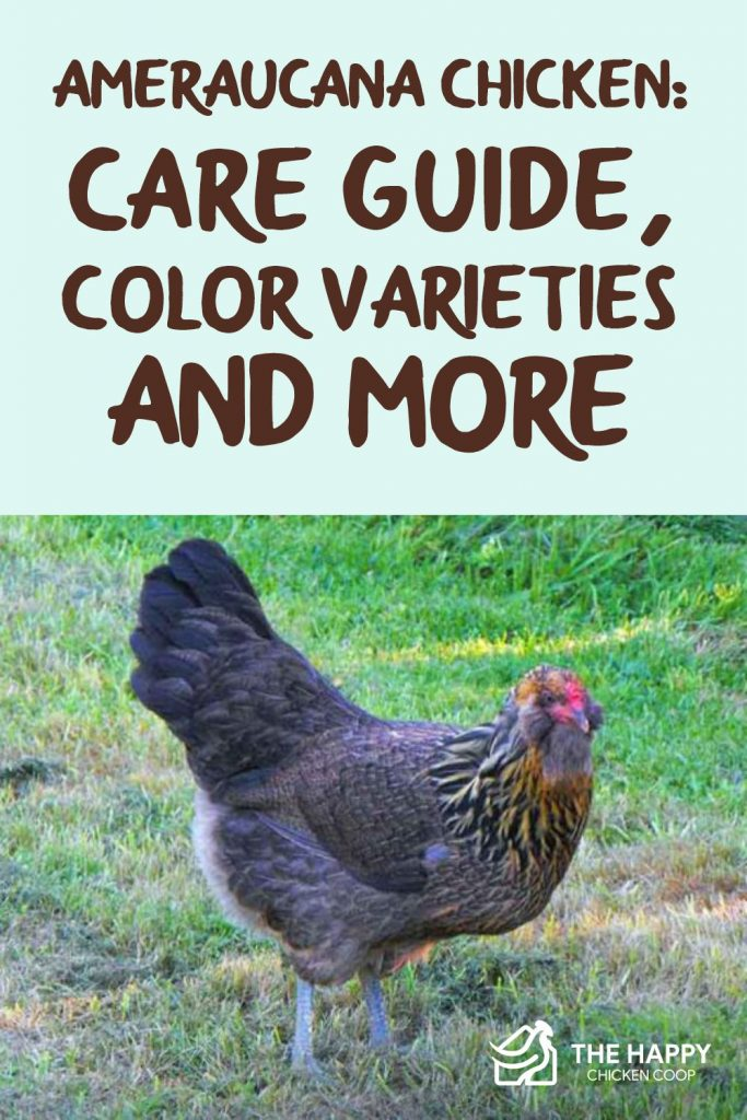 Ameraucana Chicken- Care Guide, Color Varieties and More