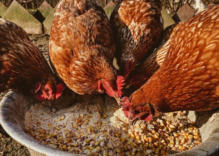 hens and calcium