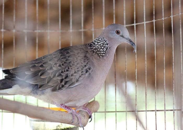 Dove Quiet Pet Bird
