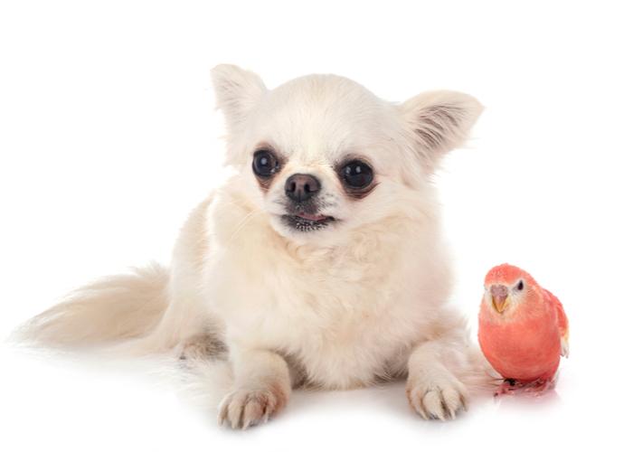 Bourke's Parakeet pet birds for children