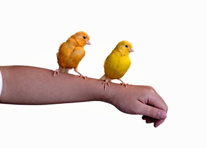 pet bird and children Canary