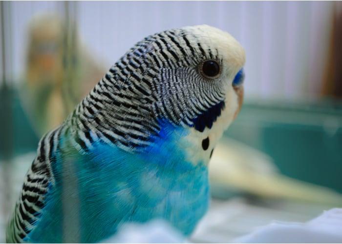 Quiet pet bird