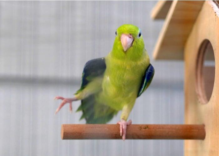 quiet pet bird Parrotlet