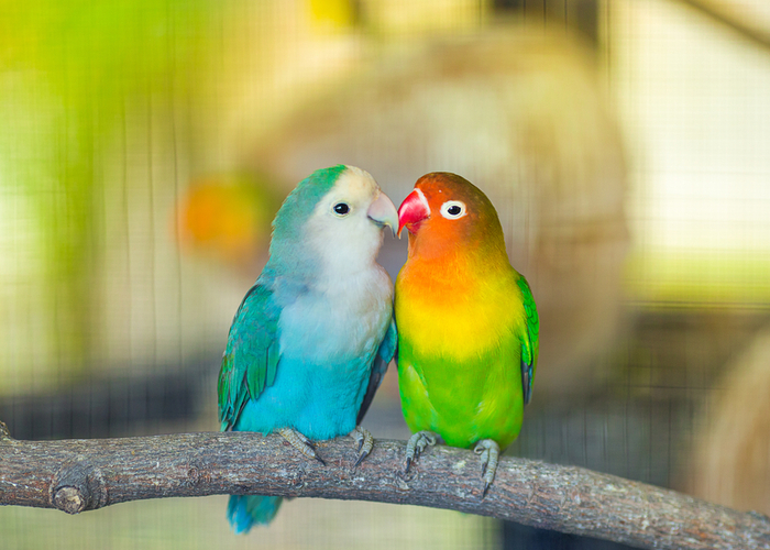 low-maintenance birds lovebird