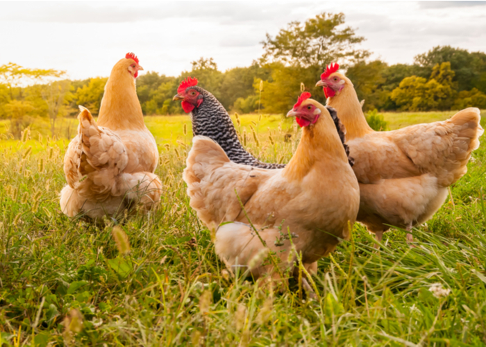 organic meat chickens