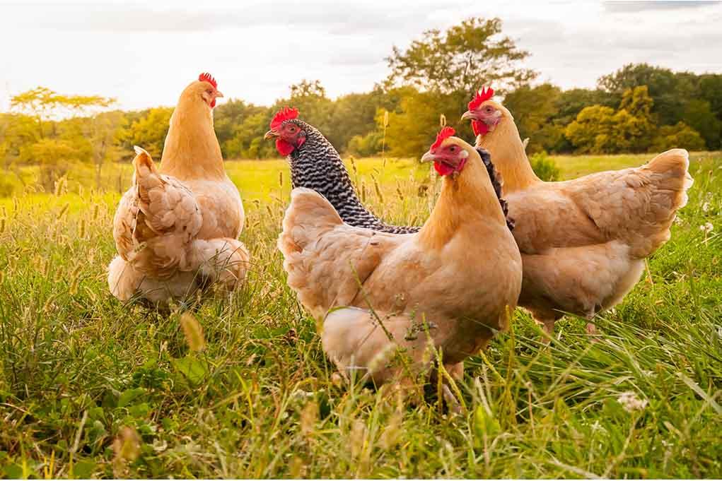 summer chicken guide
