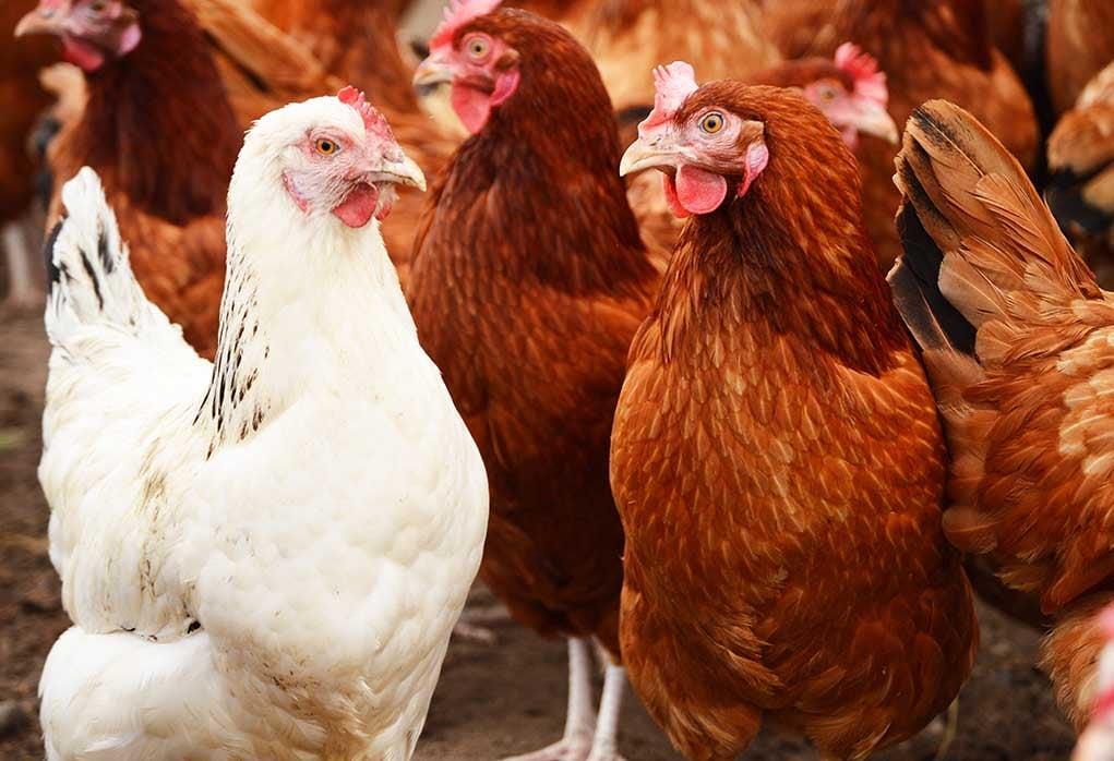 chicken's immune system