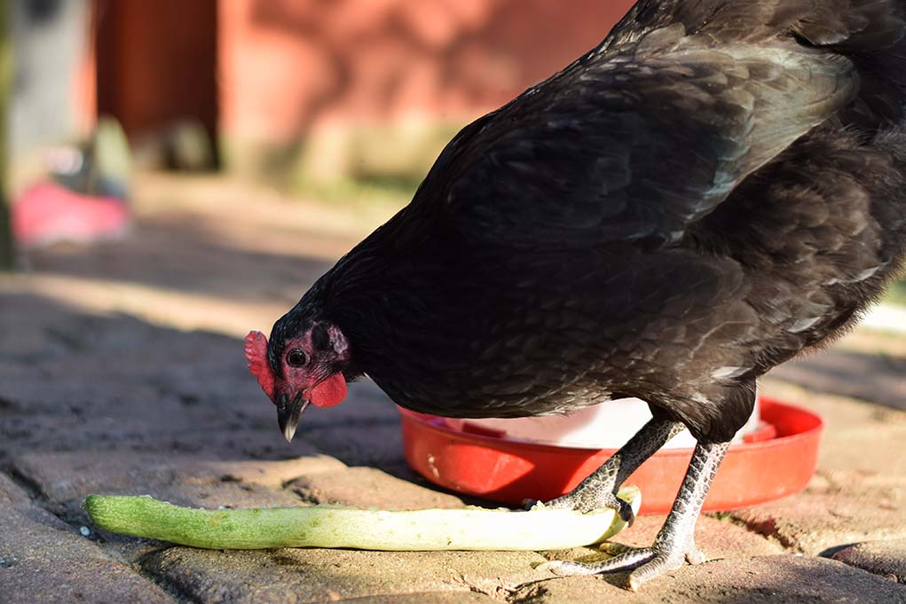 feeding chickens to death
