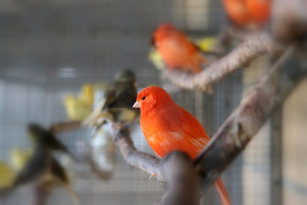 Canary Breeds